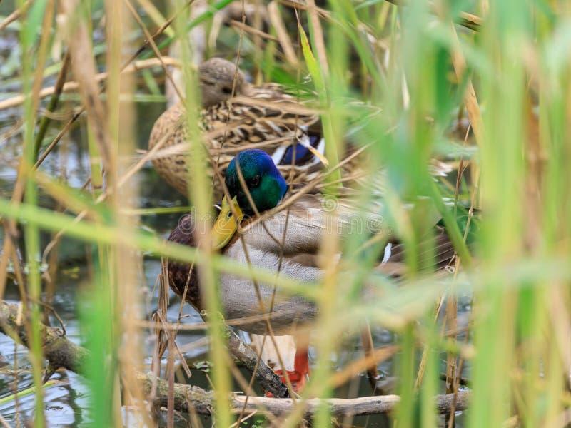 Le anatre selvatiche si nascondono in boschetti delle canne che crescono nella riserva sulla hula del lago in Israele immagini stock