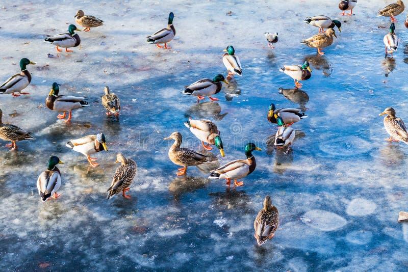 Le anatre selvatiche sul lago ghiacciano in primavera nel parco della città immagine stock