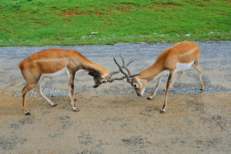 Le antilopi maschii dell'impala stanno combattendo fotografie stock libere da diritti