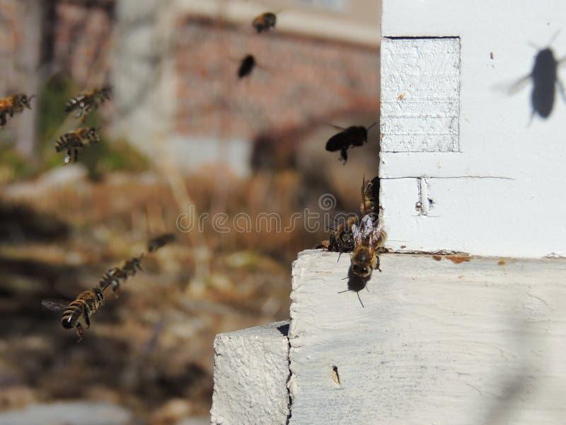 Le api alla fine anteriore dell'entrata dell'alveare su Ape che vola per immagazzinare Il fuco dell'ape del miele entra nell'alve fotografia stock libera da diritti