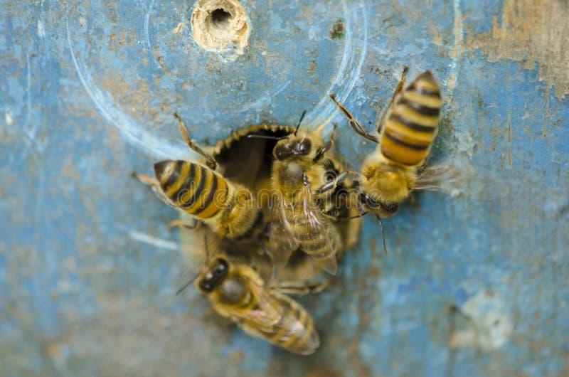 Le api arieggiano l'alveare vicino al rubinetto fotografia stock libera da diritti