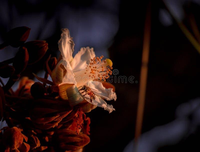 Le api che riuniscono il polline dai fiori di Paineira fanno Cerrado fotografie stock