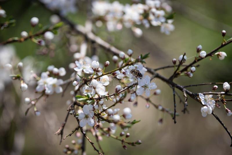 Le api raccolgono il nettare sui fiori di ciliegia fotografia stock