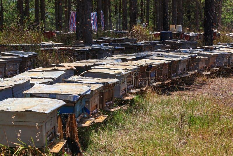 Le api ritornano agli alveari durante il lotto del raccolto delle api volano vicino ad una serie di alveari fotografia stock libera da diritti