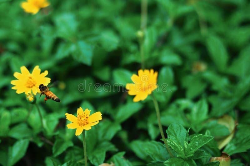 Le api stanno volando ai fiori gialli, su uno sfondo naturale fotografie stock