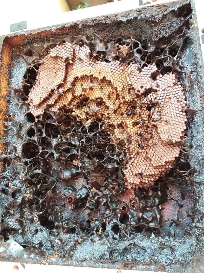 Le api Stingless sono grandi impollinatori, immagini stock