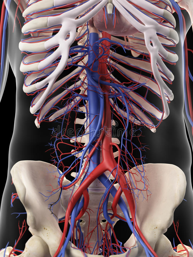 Le arterie e le vene addominali illustrazione vettoriale