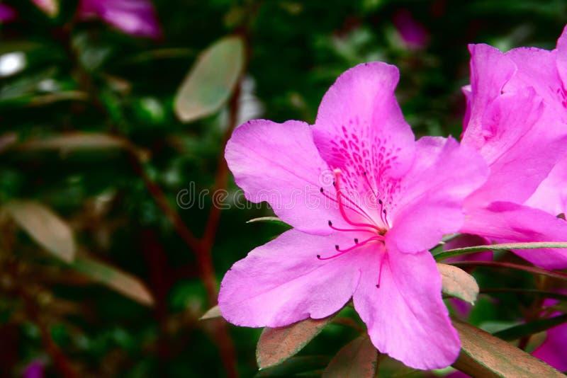 Le azalee hanno colorato brillantemente i fiori rosa scuri - giardino della sovranità Bella e pianta maestosa su fondo verde scur fotografia stock