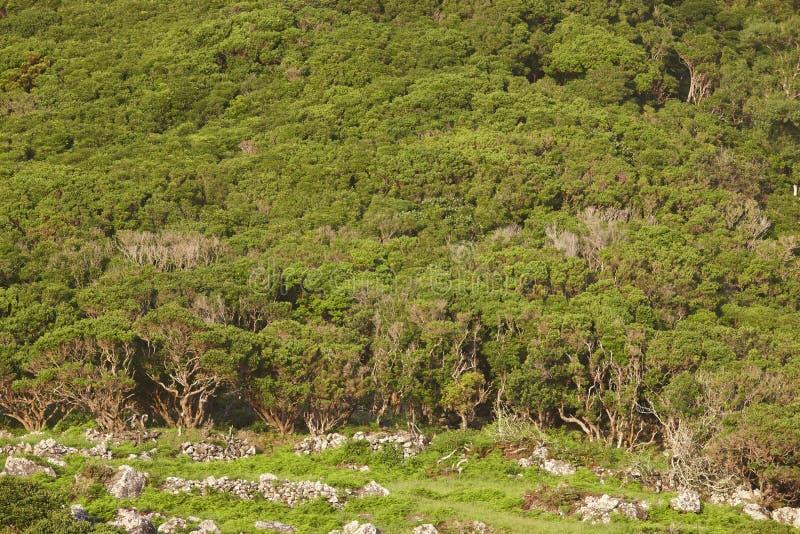 Le Azzorre abbelliscono con la foresta verde nell'isola del Flores, Azzorre Por immagine stock libera da diritti