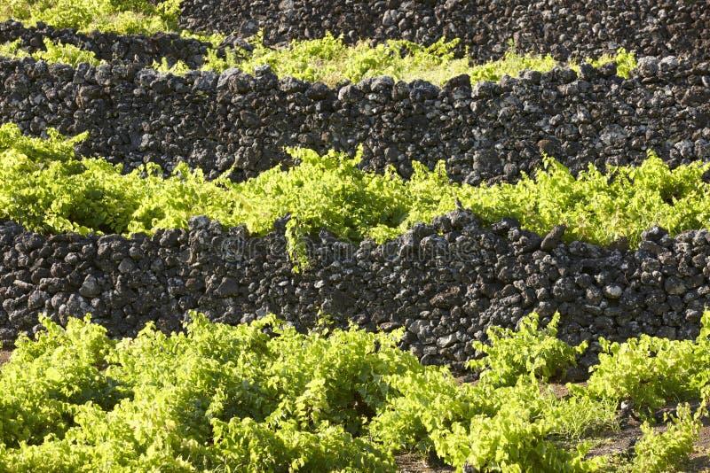 Le Azzorre tradizionali abbelliscono con le vigne della roccia vulcanica in Pic immagine stock libera da diritti