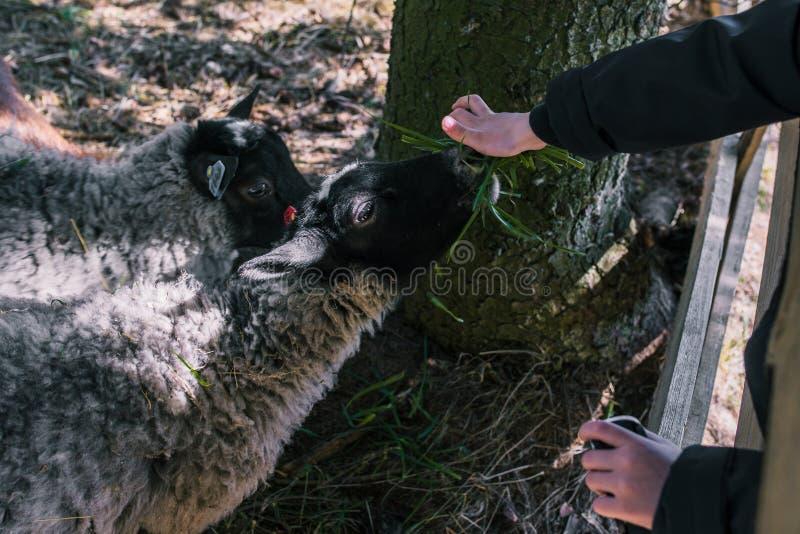Le bébé alimente l'herbe de moutons Dans les mains de tenir un groupe d'herbe verte Moutons à une ferme derrière les barrières en photos libres de droits