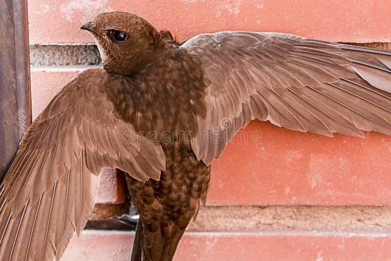 Le bébé brun effrayé avale accrocher avec les ailes ouvertes sur le mur de briques image libre de droits