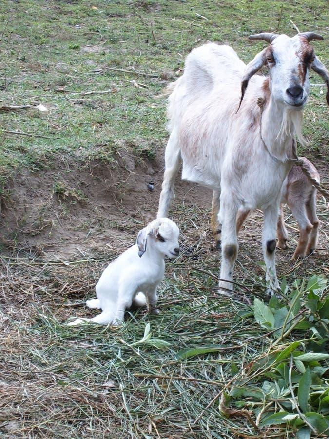 Le bébé chèvre avec d'autres chèvres dans l'herbe images libres de droits