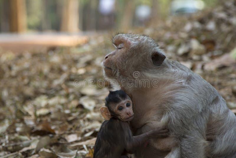 Le bébé de Macaque de longue queue embrasse sa mère photographie stock