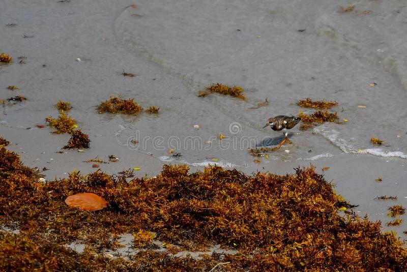 Le bécasseau et l'algue photos libres de droits
