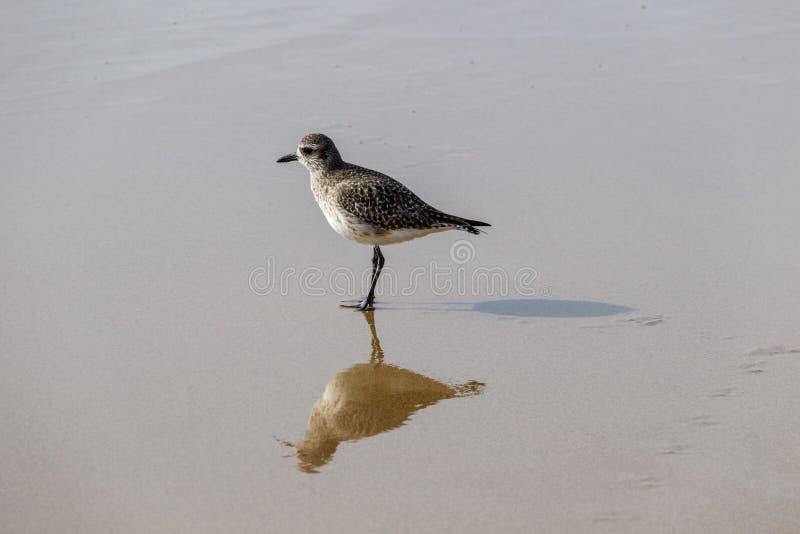 Le bécasseau solitaire s'arrête dessus tout en marchant sur le rivage de la Californie photographie stock