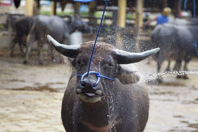 Le bétail chez le Bolu lance sur le marché dans Rantepao photo stock