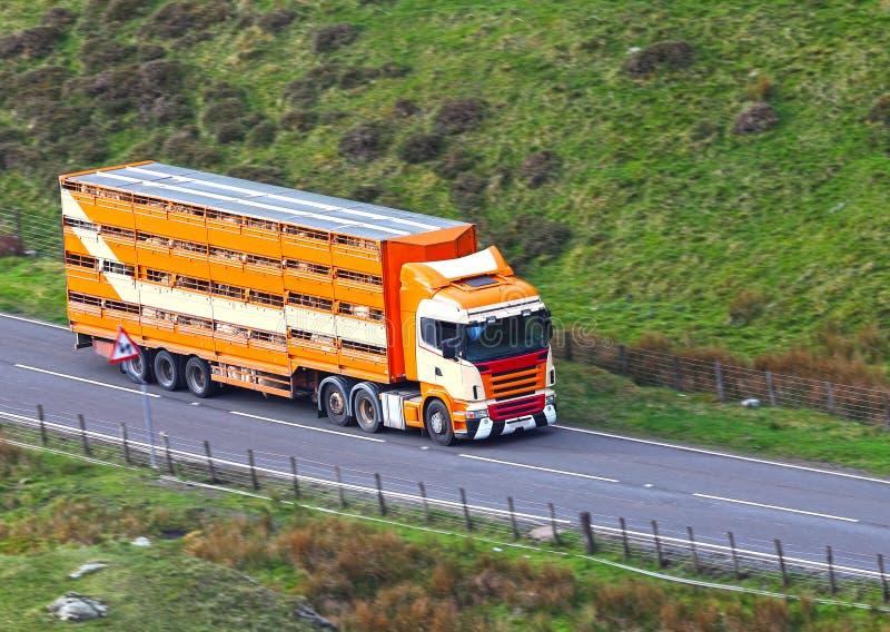 Le bétail dans la remorque de camion transporte photographie stock