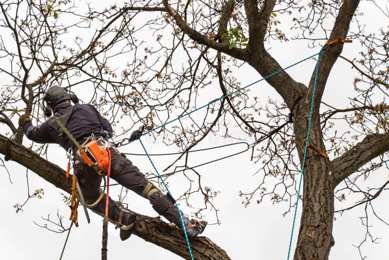 Le bûcheron avec a vu et élagage de harnais un arbre Travail d'arboriste sur le vieux noyer photos stock