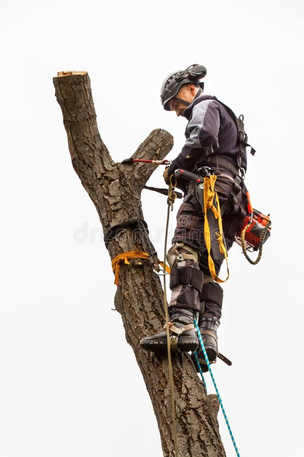 Le bûcheron avec a vu et élagage de harnais un arbre Travail d'arboriste sur le vieux noyer image stock