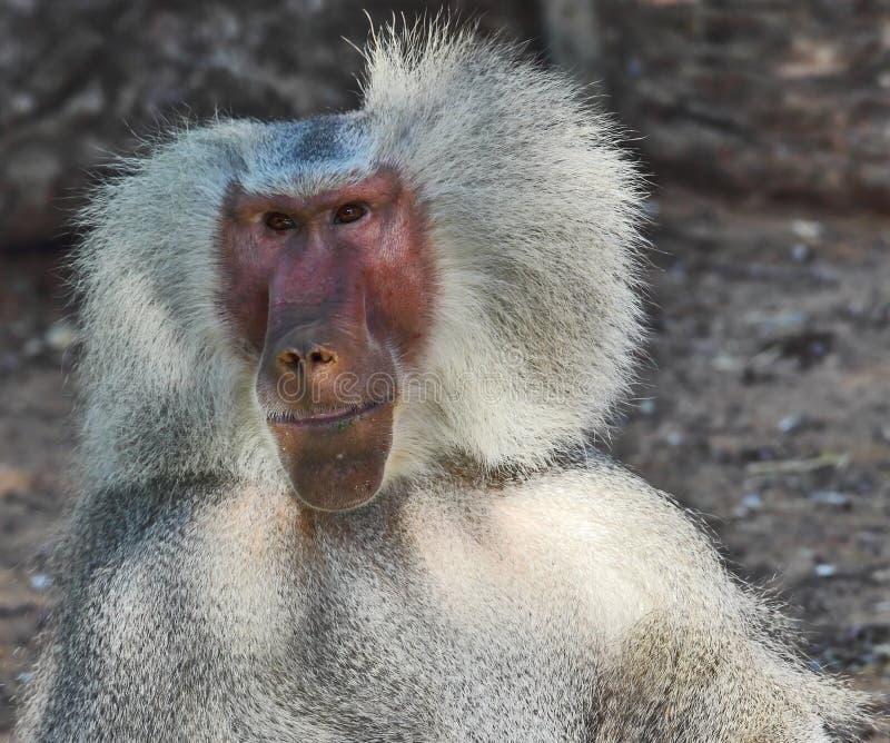 Le babouin argenté sourit aux spectateurs photographie stock