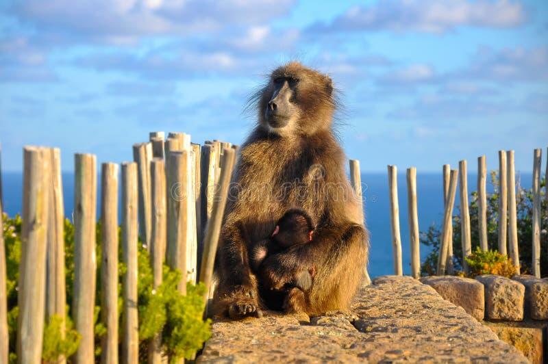 Le babouin de Chacma tient l'it& x27 ; bébé de s photo stock