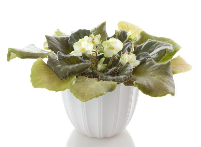 Le bac fleurit la fleur de saintpaulia photo libre de droits