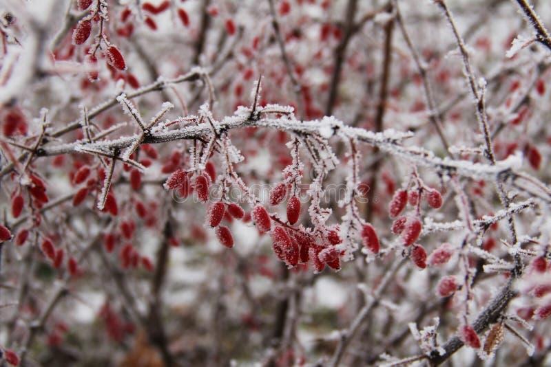 Le bacche del crespino nel gelo nel giorno di inverno, Russia centrale fotografia stock libera da diritti