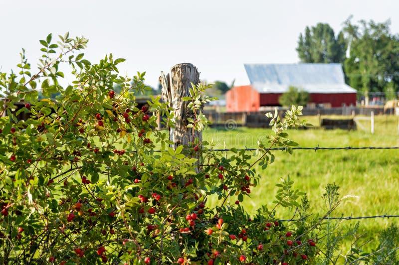 Le bacche rosse dell'estate fotografie stock
