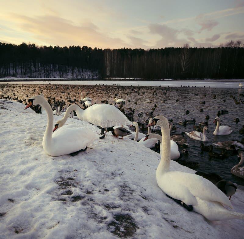 Le bain de cygnes et vivent pendant l'hiver image libre de droits