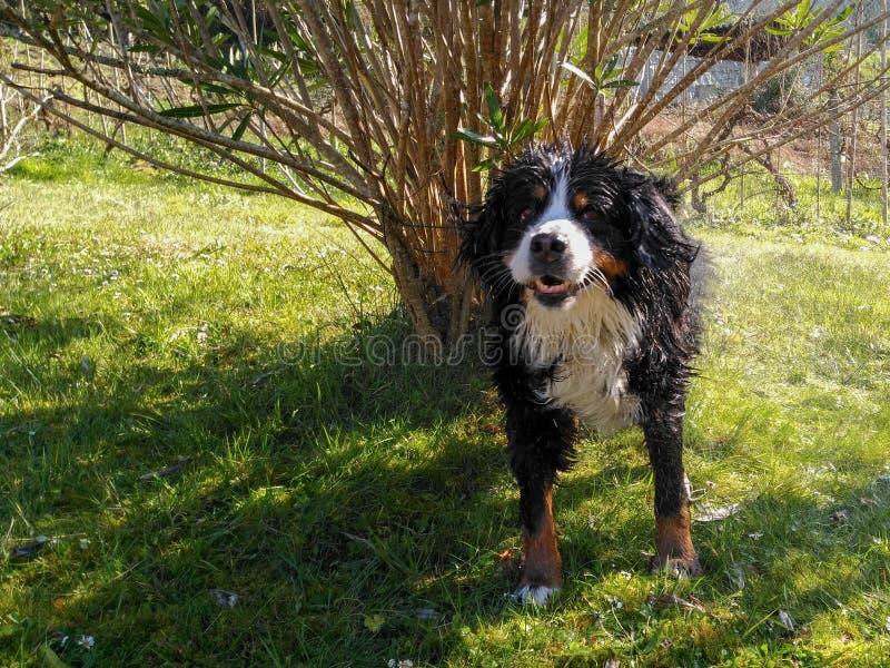Le bain du chien image libre de droits
