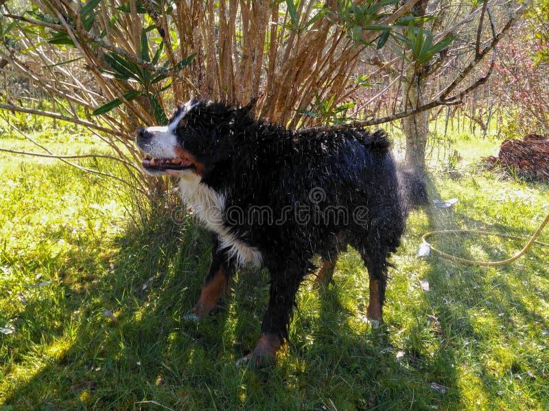 Le bain du chien images stock