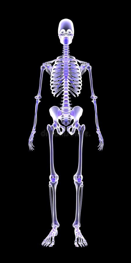 Le balayage humain bleu du squelette 3D d'anatomie rendent sur le fond noir photos libres de droits