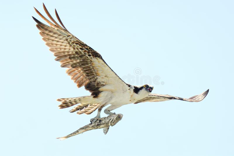 Le balbuzard monte au-dessus de la plage avec son crochet frais photographie stock libre de droits