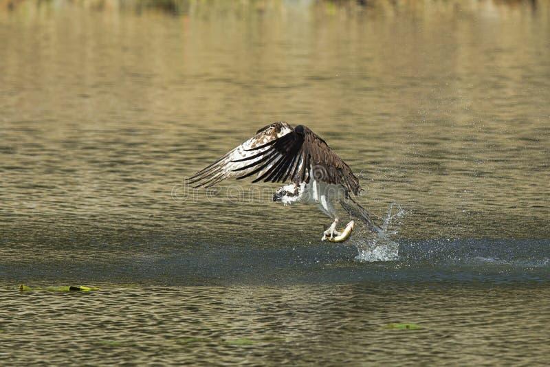 Le balbuzard pêche des poissons de l'eau photo libre de droits