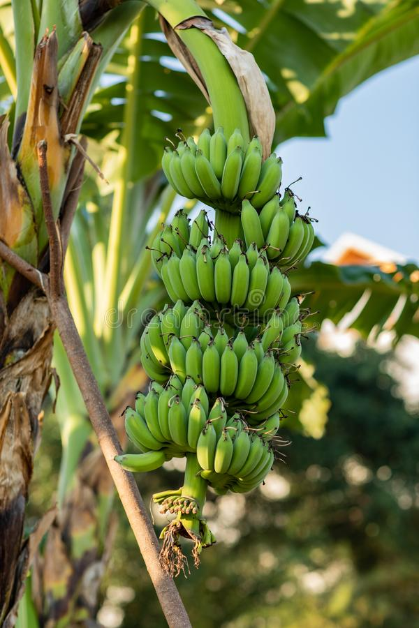 Le banane verdi non possono mangiare in questo tempo immagine stock libera da diritti