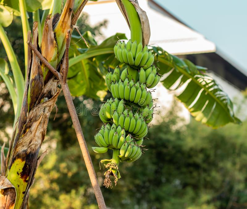 Le banane verdi non possono mangiare in questo tempo fotografia stock