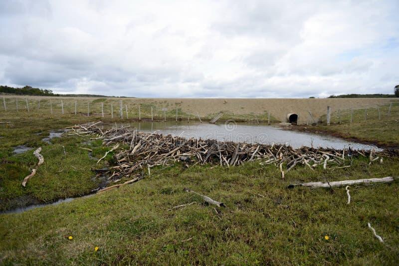 Le barrage, érigé par des branches de castors des buissons, dans la partie déboisée de Tierra del Fuego photo stock