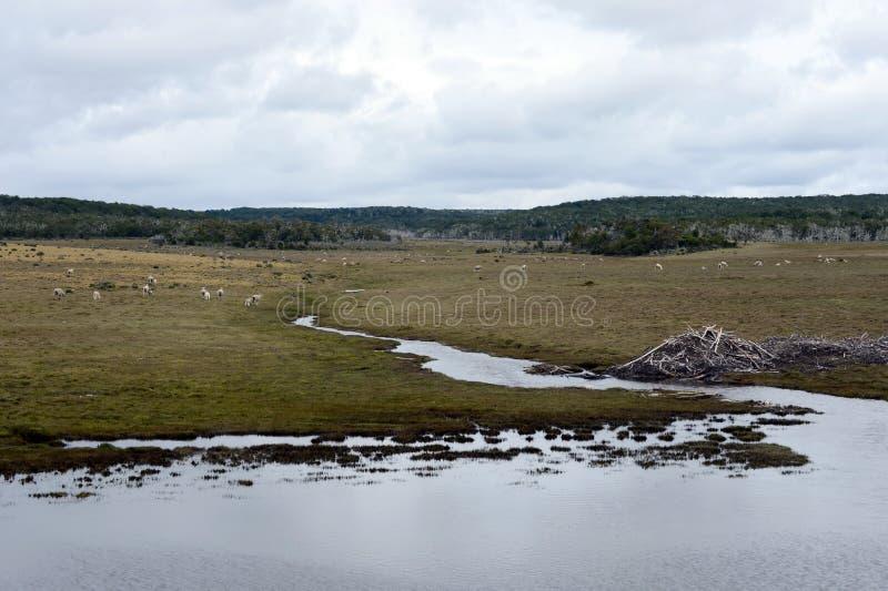Le barrage, érigé par des branches de castors des buissons, dans la partie déboisée de Tierra del Fuego image libre de droits