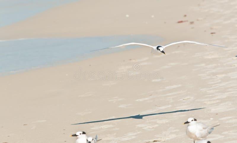 Le bas de vol de sterne de sandwich au-dessus de la plage tropicale images libres de droits
