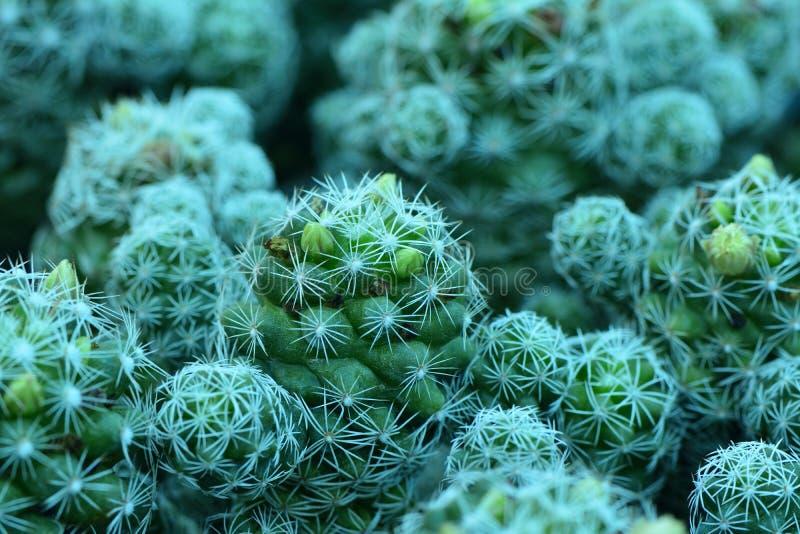 Le beau cactus de bébé dans des pots de fleurs a remonté sur une agriculture ho photographie stock