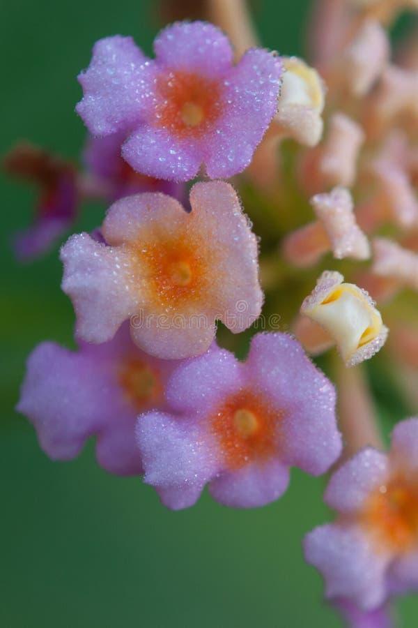 Le beau champ de baisses de rosée premier fleurit le macro lilas photographie stock