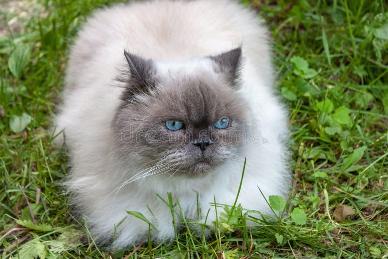 Le beau chat pelucheux avec des yeux bleus se repose images libres de droits