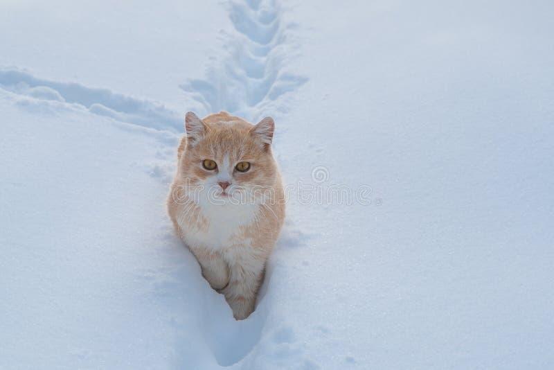 Le beau chat se repose chez le chat blanc de neige photo libre de droits