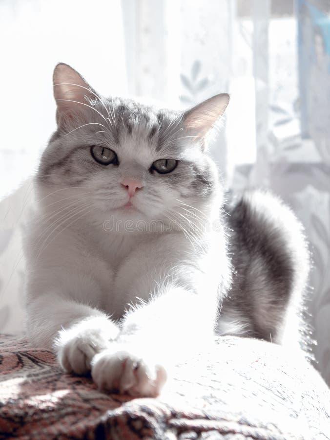 Le beau chat se situe dans le lit beau chat avec le grand repos de yeux verts images libres de droits
