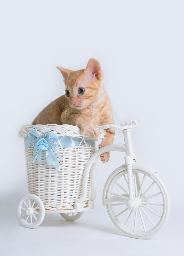 Le beau chaton bouclé Ural Rex se repose dans un panier et des regards de vélo de jouet vers le bas d'isolement sur un fond blanc image libre de droits