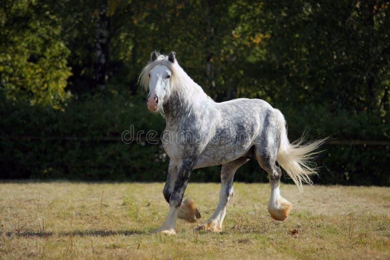 Le beau cheval de trait gris marche dans la ferme photos libres de droits
