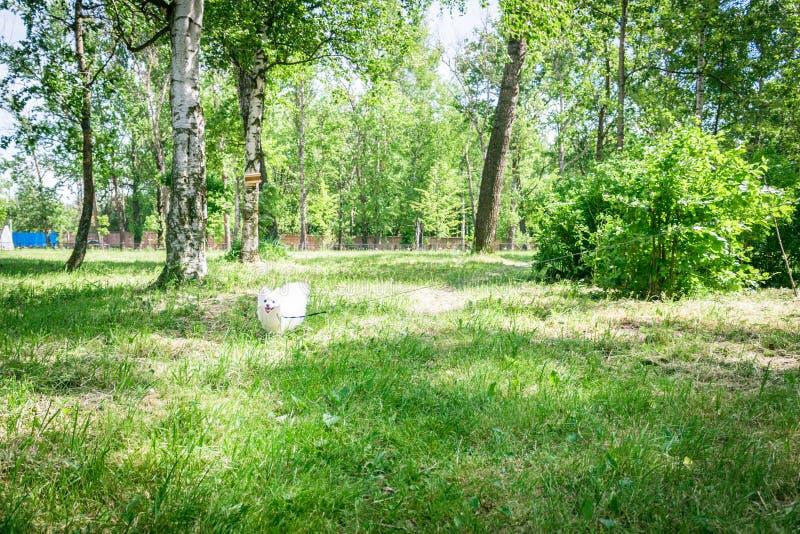 Le beau chien blanc fonctionnent par les bois, un Pomeranian, image stock