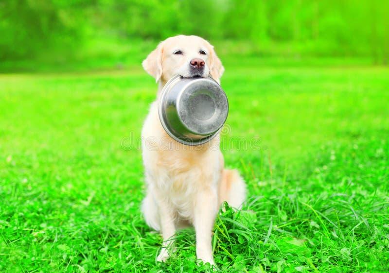 Le beau chien de golden retriever tient dans les dents une cuvette sur l'herbe image libre de droits