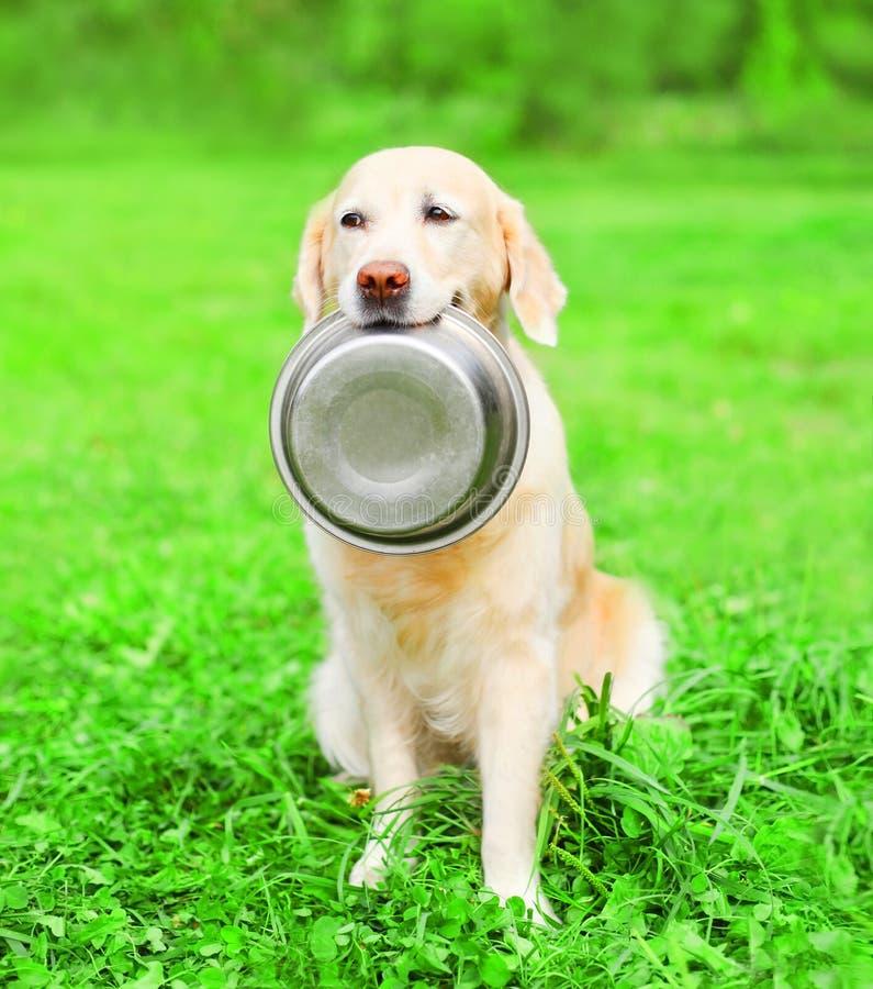 Le beau chien de golden retriever tient dans les dents une cuvette sur le parc d'été d'herbe images libres de droits